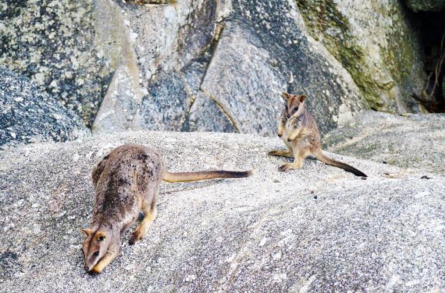 granite gorge rock wallabies