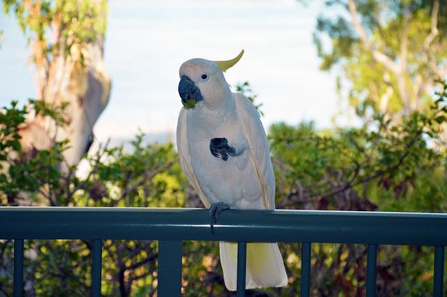 white cockatoo on Hamilton Island