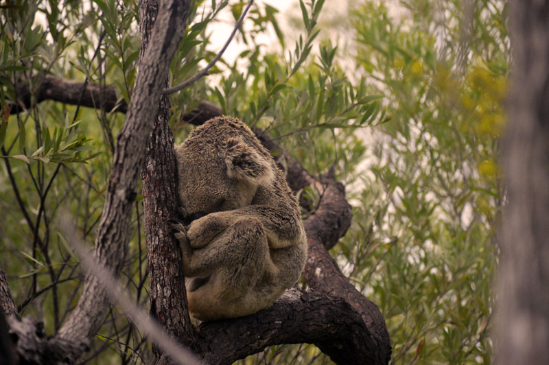 wild koala on forts walk magnetic island