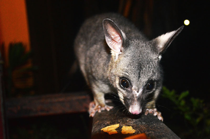 feeding wild possums magnetic island