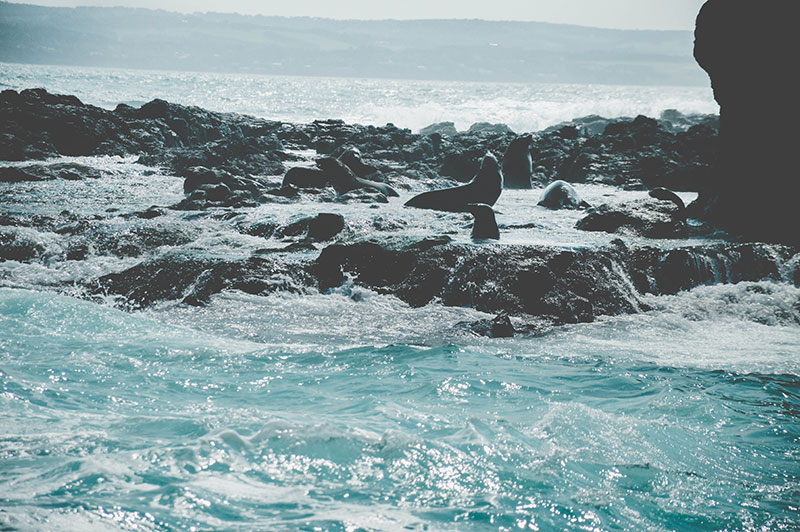 seal colony on seal rock off phillip island melbourne victoria